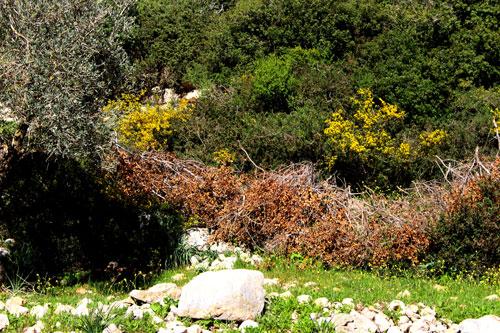 اجتثاث أشجار البلوط في حرش حكومي بمنطقة جنين